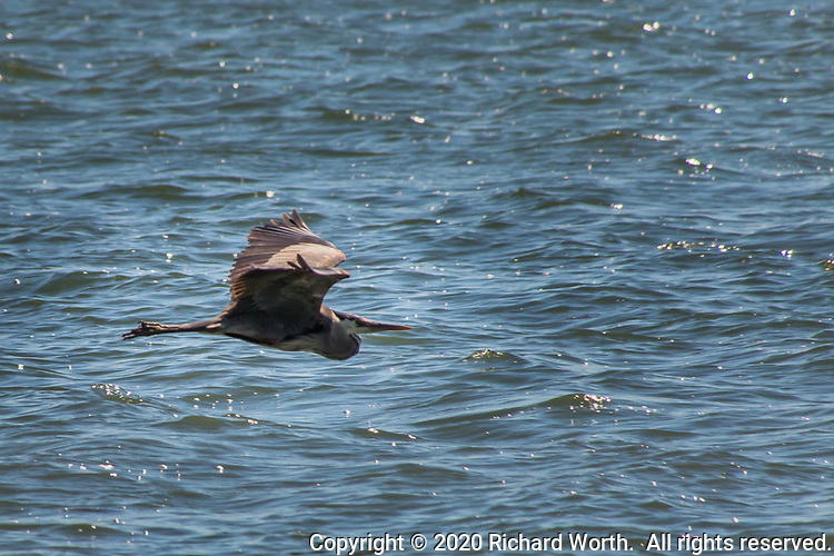 A Great blue heron flies over the rippled waters of San Leandro Bay at the MLK Regional Shoreline, Oakland, California.
