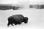 Bison walking in snow near Old Faithful