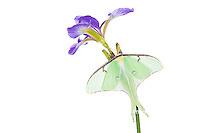 30040-00104 Luna Moth (Actias luna) on Blue Flag Iris (Iris versicolor) on white background, Marion Co., IL