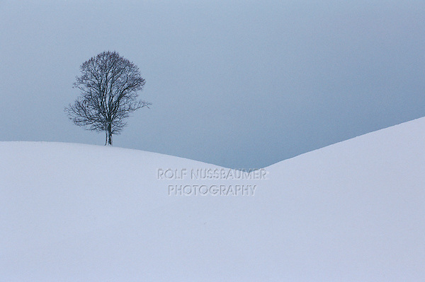 Linden tree (Tilia sp.),bare tree in winter, Switzerland