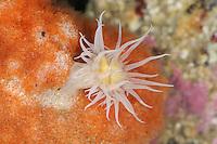 Sandalled Anemone - Actinothoe sphyrodeta