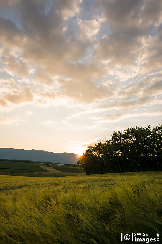 View of corn fields at sunset