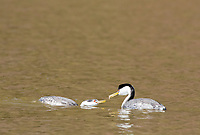 A Western Grebe, Aechmophorus occidentalis, offers a fish to its mate on Upper Klamath Lake, Oregon