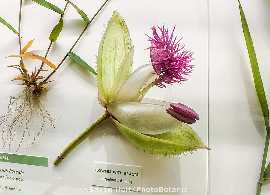 Panicum boreale - Panic grass illustrating glass flower bracts; The Ware Collection of Blaschka Glass Models of Plants Exhibit in Harvard Museum of Natural History