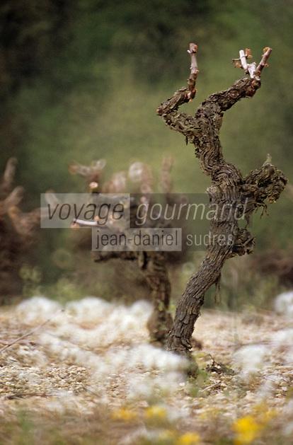 Europe/France/Pays de la Loire/49/Maine-et-Loire/Env Faye-d'Anjou: Le vignoble - Détail cep de vigne