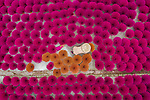 Bunches of incense sticks create a beautiful display of colour as they are laid out to dry.  A worker carefully laid out dozens of the vibrant bundles on the ground closely together.<br /> <br /> Aerial shots of the incense factory in Quang Phu Cau, Hanoi, Vietnam, show the sticks creating a sea of red and brown. SEE OUR COPY FOR DETAILS.<br /> <br /> Please byline: Khanh Phan/Solent News<br /> <br /> © Khanh Phan/Solent News & Photo Agency<br /> UK +44 (0) 2380 458800