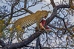 African Leopard (Panthera pardus) female feeding on sub-adult male Impala (Aepyceros melampus) prey in tree, Greater Makalali Private Game Reserve, South Africa