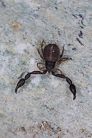 Pseudoskorpion, Afterskorpion, Rhacochelifer maculatus, Chelifer maculatus, Bücherskorpion, Pseudoskorpione, Afterskorpione, Bücherskorpione, Pseudoscorpiones, Pseudoscorpionida, pseudoscorpion, false scorpion, book scorpion, pseudoscorpions. Korsika, Corsica