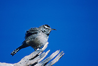 Cactus Wren, Campylorhynchus brunneicapillus, adult, Tucson, Arizona, USA, January 1995