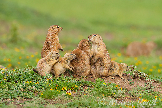 Black-tailed Prairie Dogs (Cynomys ludovicianus), family of 3 adults and 3 young outside their burrow, Wichita Mountains National Wildlife Refuge, Oklahoma, USA