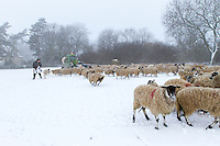 Sheep being fed by farmer in the snow -  Rutland, February