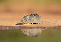 Hispid Cotton Rat (Sigmodon hispidus), adult at waters edge, South Texas, USA