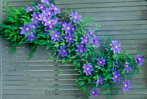 Blooming clematis on fence