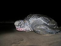 leatherback sea turtle, Dermochelys coriacea, nesting on beach, Dominica, West Indies, Caribbean, Atlantic