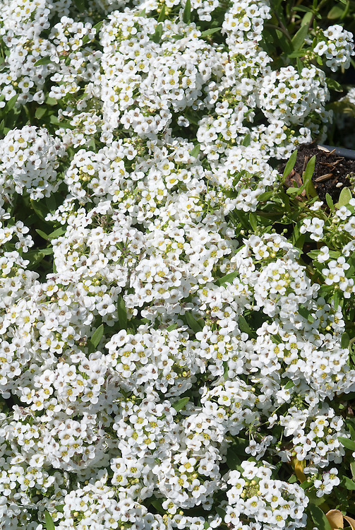 Lobularia (Sweet Alyssum) Snow Crystals white flowers in bloom