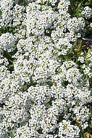 Lobularia (Sweet Alyssum) Snow Crystals white flowers in bloom