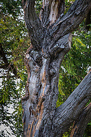 Gnarled and twisted, a tree along the path at a neighborhood park.  Imagine eyes and a very long nose.  And squished mouth.