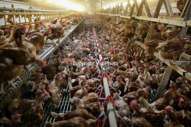 Foto: VidiPhoto..ANGEREN - Pluimveehouder Roelofs uit Angeren controleert maandag zijn 20.000 scharrelkippen. Die dieren moeten sinds dit weekend noodgedwongen binnenblijven uit vrees voor de vogelgriep.