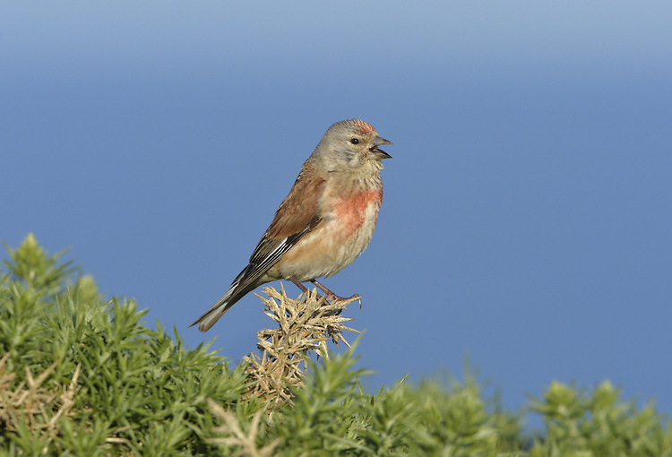 Linnet - Linaria cannabina - summer male. L 13-14cm. Breeding male is colourful but otherwise rather non-descript. Forms flocks outside breeding season. Sexes are dissimilar. Adult male in summer has grey head, rosy forecrown, and chestnut back. Pale underparts are flushed rosy-pink on breast. Note whitish patch on wings, pale sides to tail, and streaked throat. In winter rosy elements of plumage are dull or absent. Adult female has brown back, grey-brown head and streaked pale underparts. Note whitish patch on wings. Juvenile is similar to adult female but more streaked. Voice Utters tetter-tett call. Male's has a twittering, warbling song. Status Common and widespread. Favours heaths and scrub in summer, waysides and farmland in winter.