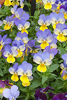 Viola 'Sorbet Yellow Frost' violets in spring with blue and yellow flowers