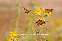 03536-05012 Three Monarch butterflies (Danaus plexippus) on Butterweed (Senecio glabellus) Prairie Ridge State Natural Area, Marion Co., IL