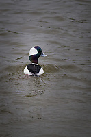 A Bufflehead duck paddling in the pond at a neighborhood park know as The Duck Pond, on the East Bay, of San Francisco Bay.