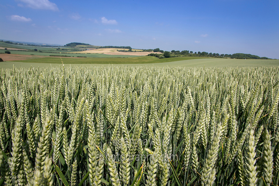 Winter wheat in ear - July