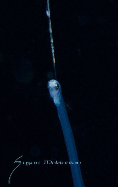 Pearlfish larva with long lure, Carapidae family of ray-finned fishes, with Pura Vida Divers on the Siren out of Riviera Beach, over 400' depth Gulfstream current
