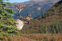 Bull caribou portrait, Denali National Park, Interior, Alaska