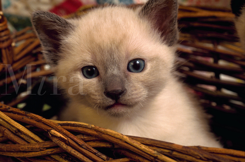 Portrait of a Siamese kitten.