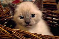 Portrait of a Siamese kitten.
