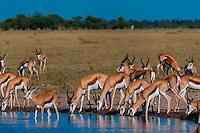 Springbok at a watering hole, Nxai Pan National Park, Botswana.
