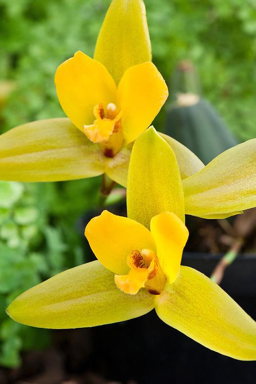 Orchid (Lycaste Jason gx).