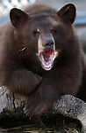 A young female bear cub yawns at the Animal Ark Wildlife Sanctuary in Reno, Nev., on Saturday, Oct. 21, 2011. After their mother was killed earlier this year, the cub and her brother are being rehabilitated to be released this winter back into the wild. Animal Ark officials are still raising funds for GPS tracking devices to be used when the bears are released mid-January. .Photo by Cathleen Allison
