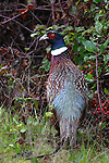 ring-necked pheasant at Ano Nuevo State Park