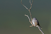 White-crowned Sparrow, Denali National Park, Alaska