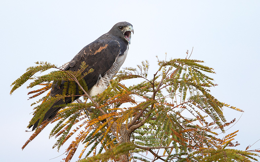 The White-tailed hawk was one of many raptors seen in western Brazil.