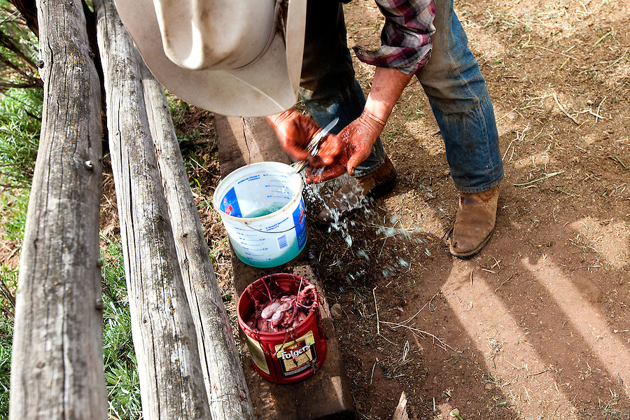 Castration is a part of spring work on Bill Fales' ranch. In late May, the calves are also branded and vaccinated. Fales, owner of Cold Mountain Ranch in Carbondale, Colorado, has been ranching his sliver of land in the Roaring Fork Valley since 1973.  <br /> <br /> Development, oil and gas extraction, and mechanized recreation all threaten the valley--and his livelihood. Not surprisingly, Fales is a proponent of conservation, having placed his property in a land trust in perpetuity. He is also in favor of the expansion of wilderness designation within his and adjoining counties. <br /> <br /> Ranching in Colorado would, arguably, not exist without the use of public lands. Fales' ranch is no different. In order to give his animals the space they need in the summer--and the pasture grasses on his ranch property the time they need to grow high in order to feed his cattle come winter--he must graze on public land. That means securing grazing permits on BLM and U.S. Forest Service land. But it does not preclude the use of wilderness lands either.<br /> <br /> Unknown to much of the public, wilderness areas can serve as grazing lands under the Wilderness Act of 1964. In fact, Fales grazes on Maroon Bells-Snowmass Wilderness area; another permit area is being considered for wilderness designation. His permit would remain if the new designation came to fruition, being &quot;grandfathered&quot; in by that original Wilderness Act.