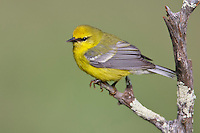 Blue-winged Warbler - Vermivora cyanoptera - Adult male