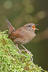 Winter Wren (Troglodytes troglodytes) perched on a branch, Victoria, BC, Canada.