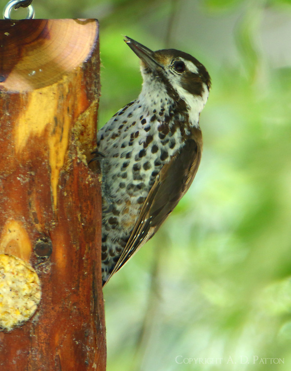 Female Arizona woodpecker
