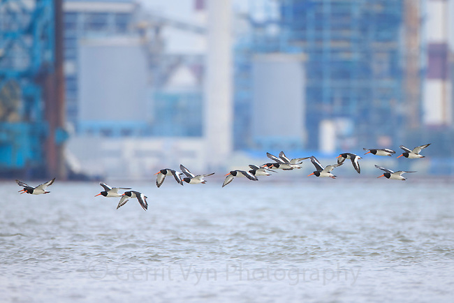 Far Eastern Oystercatcher (Haematopus ostralegus). Geum Estuary, South Korea. October.