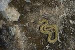 Water Snake (Natrix maura), Spain