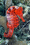 Hippocampus erectus, Lined seahorse, Florida Keys
