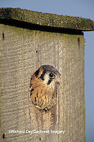 00818-01608 American Kestrel (Falco sparverius) male nestling looking out of nest box, Marion Co.   IL