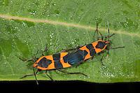 Large Milkweed Bug; Oncopeltus fasciatus; copulating; Schuylkill Center, PA, Philadelphia