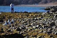 Seagull on the rocks and vegetation maritima to a beachside Kino Bay coastline in the Marde of Cortez...Gaviota sobre las rocas  y vegetacion maritima a la a orilla de la playa  litoral de bahia de Kino  en el  marde de cortez..*Monday*06*/feb/201*.***photo:staff/NortePhoto**.*No*sale*to*third*