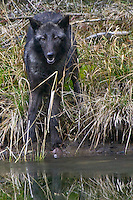 Grey Wolf standing along a semi-frozen pond - CA