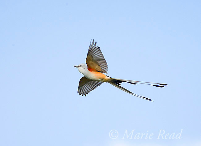 Scissor-tailed Flycatcher (Tyrannus forficatus) in flight with wings and tail outspread, Wichita Mountains NWR, Oklahoma, USA