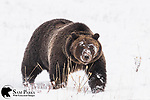 Grizzly bear in blizzard. Grand Teton National Park, Wyoming.